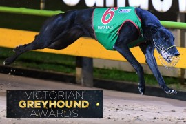 Fanta Bale crowned Victorian Greyhound of the Year