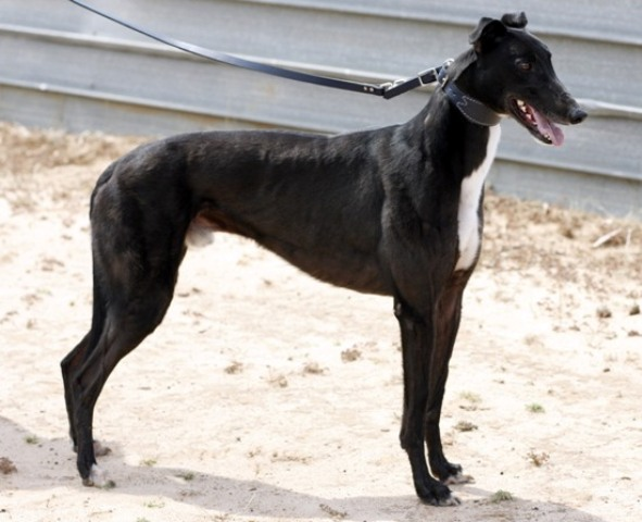 Trewly Special is one of at least 10 male greyhounds that trace back to Leprechaun Miss who have gone to stud.