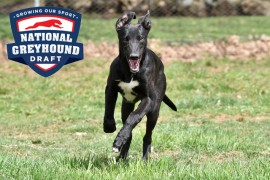 National Greyhound Draft to revolutionise greyhound racing